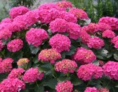 Гортензия гибридная Розовый Стиль
