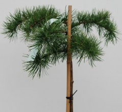 Larix kaempferi Stiff Weeper рendula на штамбе 1,2м