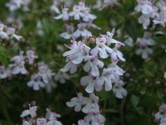 Цветение Богородицкой травы