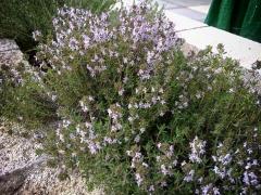 Чабрец садовый