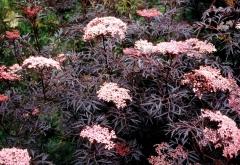 Sambucus nigra Black Lacе