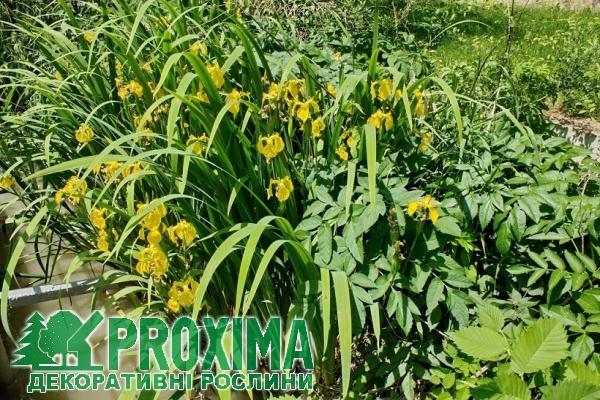 Болотные ирисы уход и выращивание 61