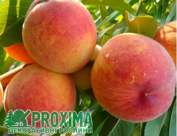 Персик Княжья Краса