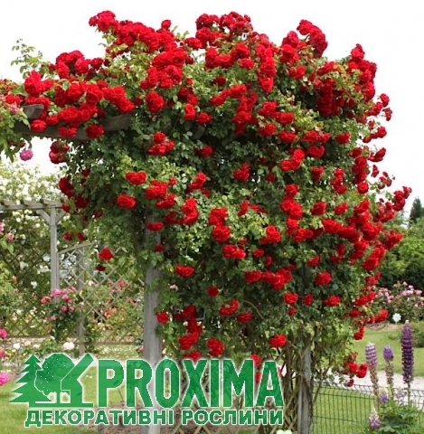 Роза плеттистая Амадеус