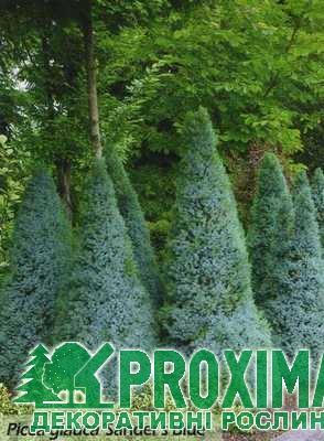 Ель канадская Сандерс Блю Picea glauca Sanders Blue
