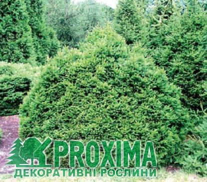 Узви Negro дар Picea
