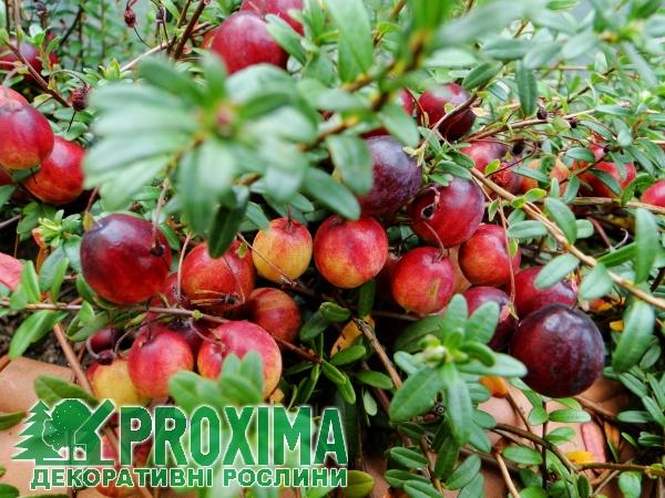 Клюква крупноплодная выращивание 70