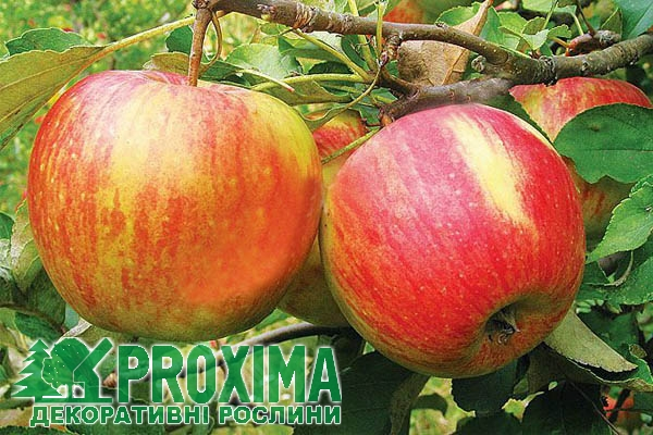 топаз яблоня фото