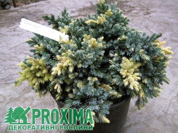Можжевельник чешуйчатый Флореант Juniperus squamata Floreant