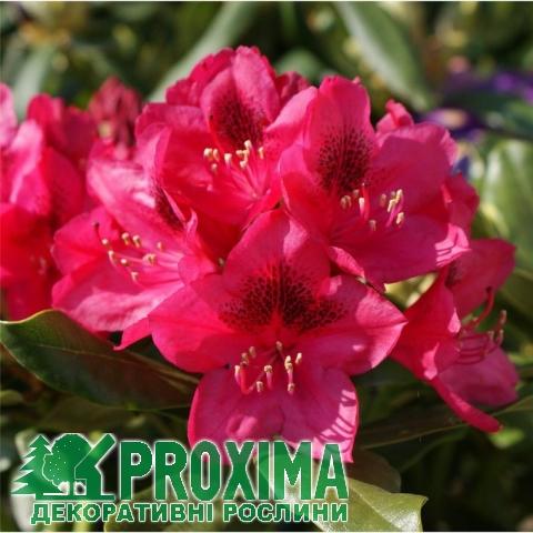 Цветы рододендроны купить цена, цветов с доставка комсомольск на амуре