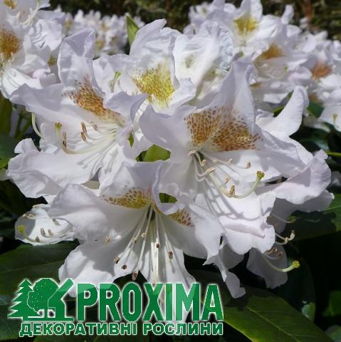 tsveti-rododendroni-kupit-tsena