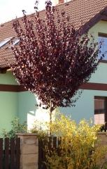 Слива растопыренная Нигра (на штамбе) <br>Слива розчепірена Нігра (на штамбі) <br>Prunus cerasifera Nigra (on shtamb)