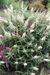 Буддлея Давида Вайт Бол <br>Buddleja davidii White Ball