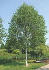 Берёза полезная Доренбос <br>Береза корисна Доренбос <br>Betula utilis Doorenbos
