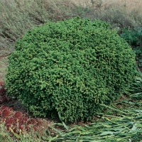 Криптомерия японская Вилмориниана <br>Кріптомерія японська Вілморініана <br>Cryptomeria japonica Vilmoriniana