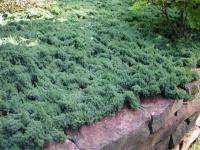 Можжевельник лежачий Бонин Айслс / Бонин Ислес <br>Ялівець лежачий Бонін Айслс / Бонін Іслес <br>Juniperus procumbens Bonin Isles