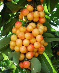 Черешня Любава желтая (средне-поздняя) <br>Черешня Любава жовта (середньо-пізня) <br>Prunus avium Lyubava
