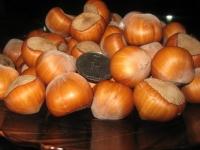 Фундук обыкновенный Барселонский <br>Фундук звичайний Барселонський <br>Corylus avellana Barselonskii