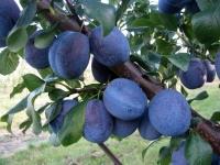 Слива домашняя Нэнька (средняя) <br>Слива домашня Ненька (середня) <br>Prunus domestica Nenka