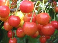 Черешня Приусадебная (розовая, летняя) <br>Черешня Присадибна (рожева, літня) <br>Prunus avium Priusadebnaya