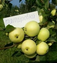 Яблоня домашняя Папировка (летняя) <br>Яблуня домашня Папіровка (літня) <br>Malus domestica Papirovka