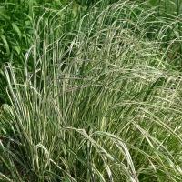 Вейник остроцветковый Овердам / Кунишник<br>Війник гостроквітковий Овердам / Куничник<br>Calamagrostis acutiflora Overdam