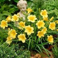 Лилейник гибридный Стелла де Оро<br>Лілійник гібридний Стелла де Оро<br>Hemerocallis hybrida Stella de Oro