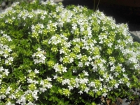 Тимьян обыкновенный Альба / Чабрец<br>Чебрець звичайний Альба / Тим'ян<br>Thymus vulgaris Alba