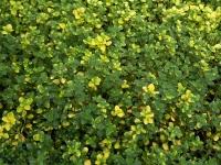 Тимьян лимонный Донна Валлей / Чабрец<br>Чебрець лимонний Донна Валлей / Тим'ян<br>Thymus citriodorus Doone Valley
