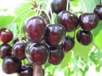Черешня Мелитопольская Чёрная (поздняя)<br>Черешня Мелітопольська Чорна (пізня)<br>Prunus avium Melitopol Вlack Later