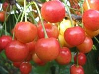 Черешня Дончанка (желто-розовая, средняя)<br>Черешня Дончанка (жовто-рожева, середня)<br>Prunus avium Donchanka