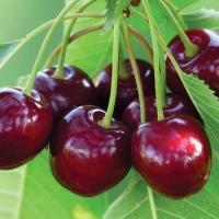Черешня Бигарро Бурлат (чёрно-красная, ранняя)<br>Черешня Бігаро Бурлат (чорно-червона, рання)<br>Prunus avium Bigaro Burlat