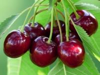Вишня домашняя Славянка (ранняя)<br>Вишня домашня Слов'янка (рання)<br>Prunus cerasus Slavyanka
