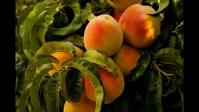 Персик домашний Солнечный (средний)<br>Персик домашній Сонячний (середній)<br>Prunus persica Solnechniy