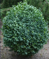 Самшит вечнозелёный Блауэр Хайнц <br>Buxus sempervirens Blauer Heinz<br>Самшит вічнозелений Блауер Хайнц