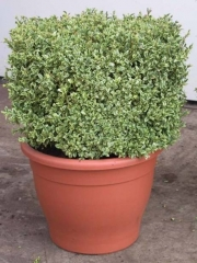 Самшит вечнозеленый Элеганс <br>Buxus sempervirens Elegans<br>Самшит вічнозелений Елеганс