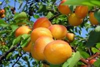 Абрикос Полесский крупноплодный (средний)<br>Абрикос Поліський крупноплідний (середній)<br>Prunus armeniaca Poleskiy krupnoplodniy