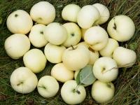 Яблоня домашняя Белый Налив (летняя)<br>Яблуня домашня Білий Налив (літня)<br>Malus domestica Beliy Naliv