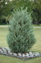 Можжевельник скальный Мунглоу<br>Ялівець скельний Мунглоу<br>Juniperus scopulorum Moonglow