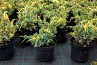 Можжевельник чешуйчатый Голден Флейм<br>Ялівець лускатий Голден Флейм<br>Juniperus squamata Golden Flame