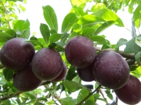 Алыча крупноплодная Генерал<br>Алича великоплідна Генерал<br>Prunus cerasifera General