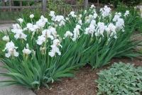 Ирис низкий Альба / Касатик / Петушок<br>Ірис низький Альба / Півник<br>Iris humilis Alba