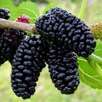 Шелковица домашняя<br>Шовковиця домашня<br>Mulberry tree