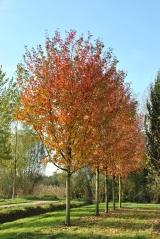 Клен красный Отам Блейз<br>Клен червоний Отам Блейз<br>Acer rubrum Autumn Blaze