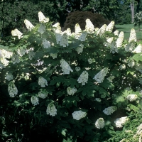 Гортензия дуболистная Сноуфлейк<br>Гортензія дуболиста Сноуфлейк<br>Hydrangea quercifolia Snowflake