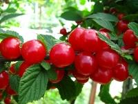Вишня войлочная<br>Вишня повстиста<br>Prunus tomentosa
