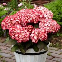 Гортензия крупнолистная Мисс Саори (Ю энд Ми)<br>Гортензія великолиста Міс Саорі (Ю енд Мі)<br>Hydrangea macrophylla Miss Saori (You & Me)