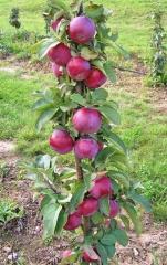 Яблоня колоновидная Титания (осенняя)<br>Яблуня колоновидна Титанія (осіння)<br>Malus columnar Titania