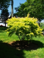 Клен веерный /пальмолистый  Оранж Дрим<br>Acer palmatum Orange Dream<br>Клен віяловий / пальмолистий Оранж Дрім