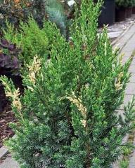 Можжевельник китайский Стрикта Вариегата <br>Ялівець китайський Стрікта Варієгата <br>Juniperus chinensis Stricta Variegata